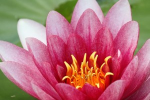 water-lily-264591_640